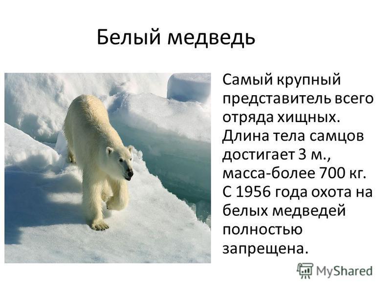 Белый медведь Самый крупный представитель всего отряда хищных. Длина тела самцов достигает 3 м., масса-более 700 кг. С 1956 года охота на белых медведей полностью запрещена.
