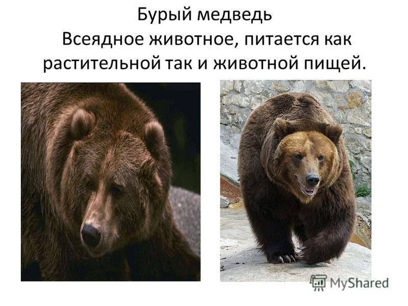 Бурый медведь Всеядное животное, питается как растительной так и животной пищей.