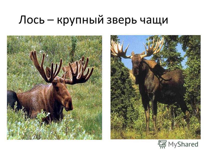 Лось – крупный зверь чащи