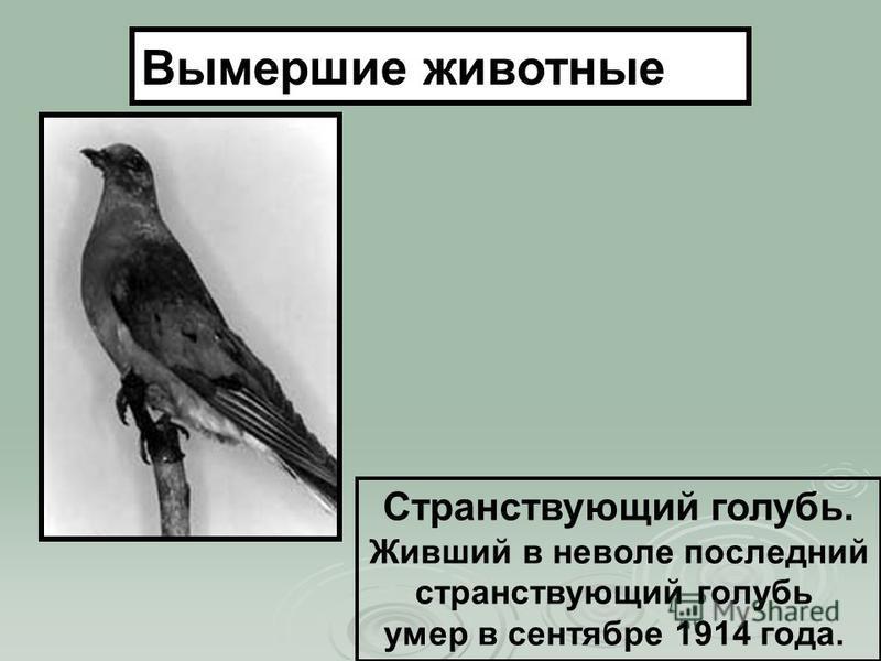 Странствующий голубь. Живший в неволе последний странствующий голубь умер в сентябре 1914 года. Вымершие животные