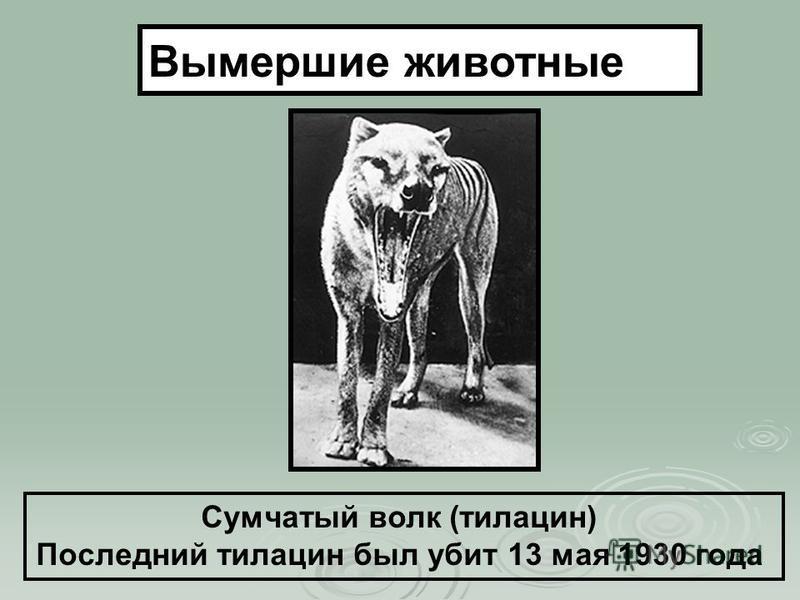 Сумчатый волк (тилацин) Последний тилацин был убит 13 мая 1930 года Вымершие животные
