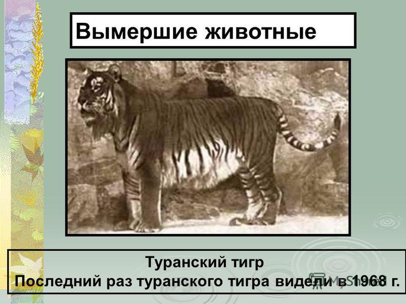 Туранский тигр Последний раз туранского тигра видели в 1968 г. Вымершие животные