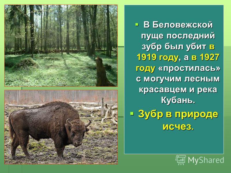 В Беловежской пуще последний зубр был убит в 1919 году, а в 1927 году «простилась» с могучим лесным красавцем и река Кубань. В Беловежской пуще последний зубр был убит в 1919 году, а в 1927 году «простилась» с могучим лесным красавцем и река Кубань.