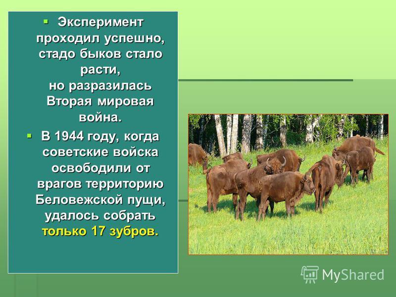 Эксперимент проходил успешно, стадо быков стало расти, но разразилась Вторая мировая война. Эксперимент проходил успешно, стадо быков стало расти, но разразилась Вторая мировая война. В 1944 году, когда советские войска освободили от врагов территори
