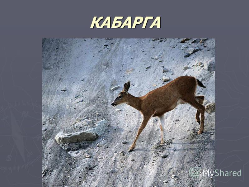 КАБАРГА