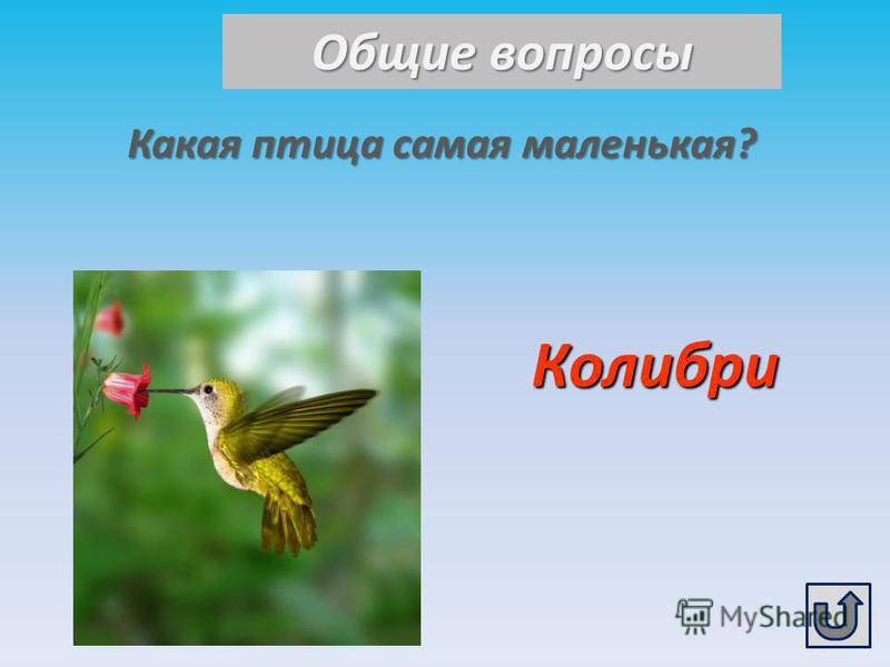 Общие вопросы Какая птица самая маленькая? Колибри