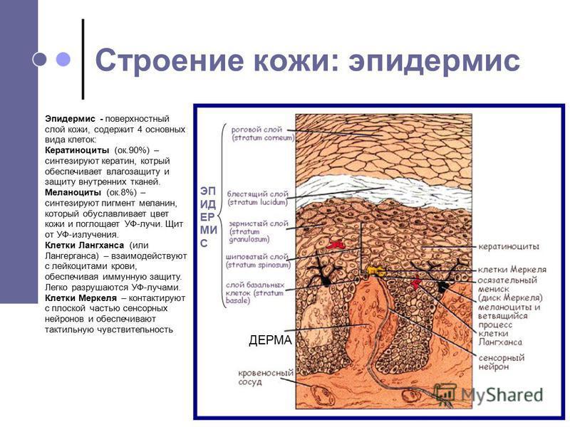 Эпидермис - поверхностный слой кожи, содержит 4 основных вида клеток: Кератиноциты (ок.90%) – синтезируют кератин, который обеспечивает влагозащиту и защиту внутренних тканей. Меланоциты (ок.8%) – синтезируют пигмент меланин, который обуславливает цв