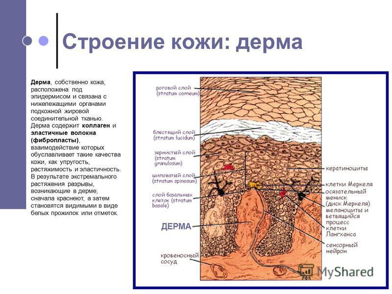 Дерма, собственно кожа, расположена под эпидермисом и связана с нижележащими органами подкожной жировой соединительной тканью. Дерма содержит коллаген и эластичные волокна (фибропласты), взаимодействие которых обуславливает такие качества кожи, как у