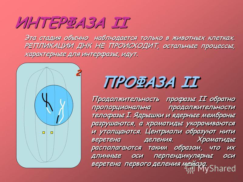 ИНТЕРФАЗА II Эта стадия обычно наблюдается только в животных клетках. РЕПЛИКАЦИИ ДНК НЕ ПРОИСХОДИТ, остальные процессы, характерные для интерфазы, идут. ПРОФАЗА II Продолжительность профазы II обратно пропорциональна продолжительности телофазы I. Ядр