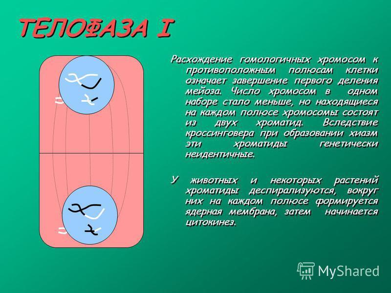 ТЕЛОФАЗА I Расхождение гомологичных хромосом к противоположным полюсам клетки означает завершение первого деления мейоза. Число хромосом в одном наборе стало меньше, но находящиеся на каждом полюсе хромосомы состоят из двух хроматид. Вследствие кросс