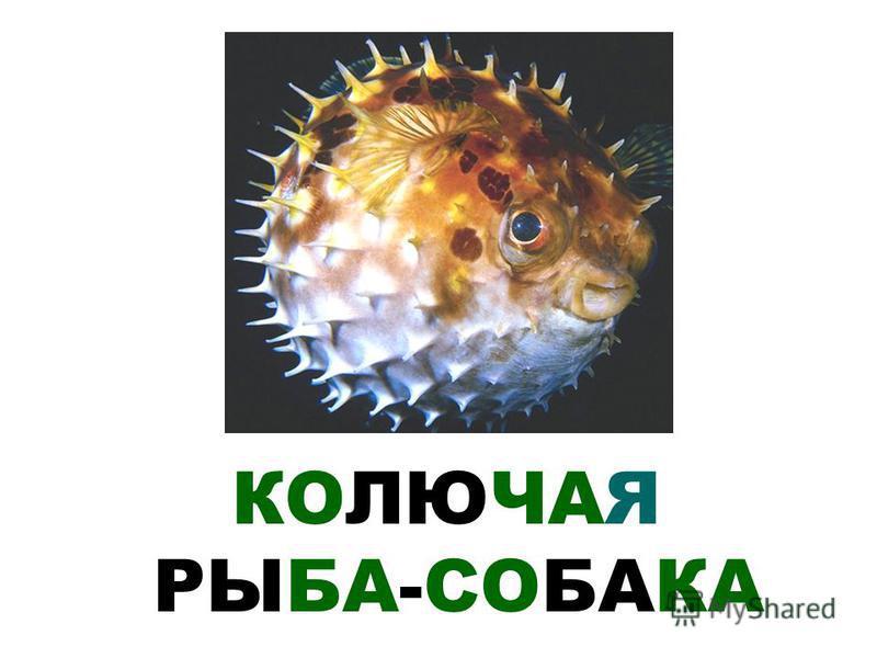 КОЛЮЧАЯ РЫБА-CОБАКА
