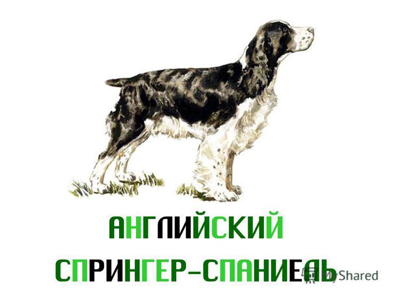 АНГЛИЙСКИЙ СПРИНГЕР-СПАНИЕЛЬ