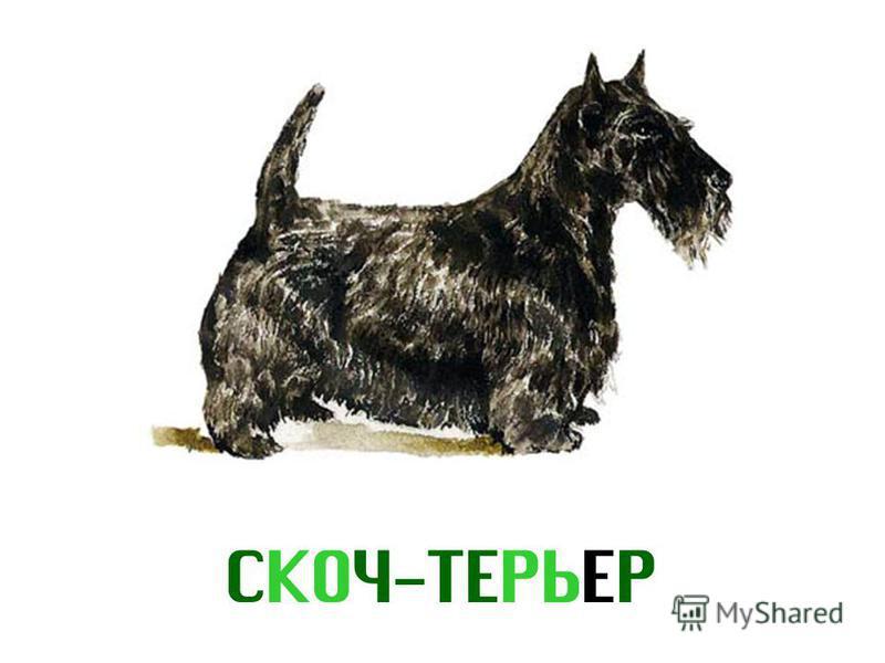 СКОЧ-ТЕРЬЕР