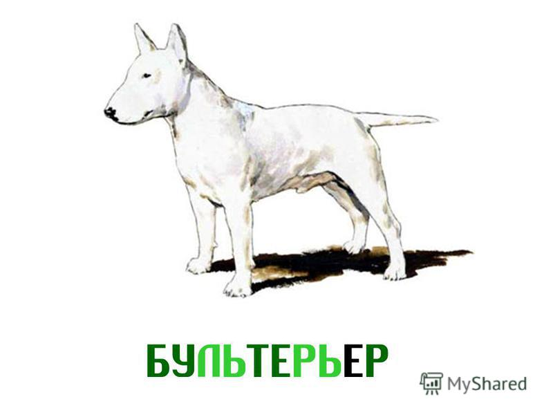 БУЛЬТЕРЬЕР