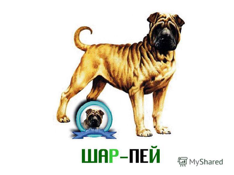 ШАР-ПЕЙ