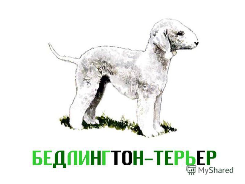 БЕДЛИНГТОН-ТЕРЬЕР