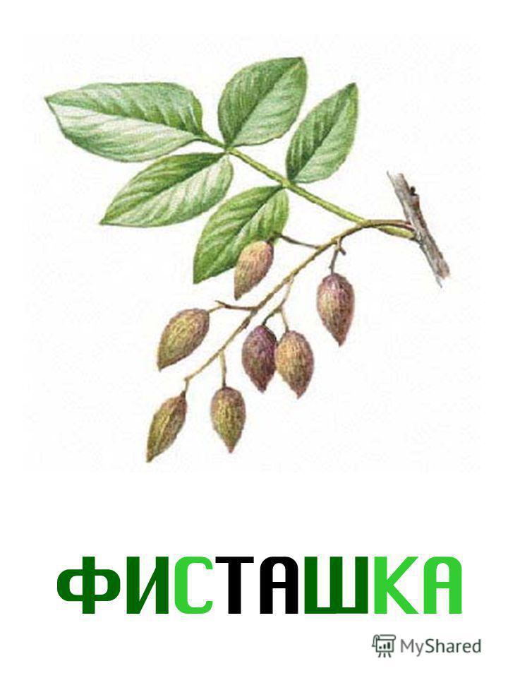 ФИСТАШКА