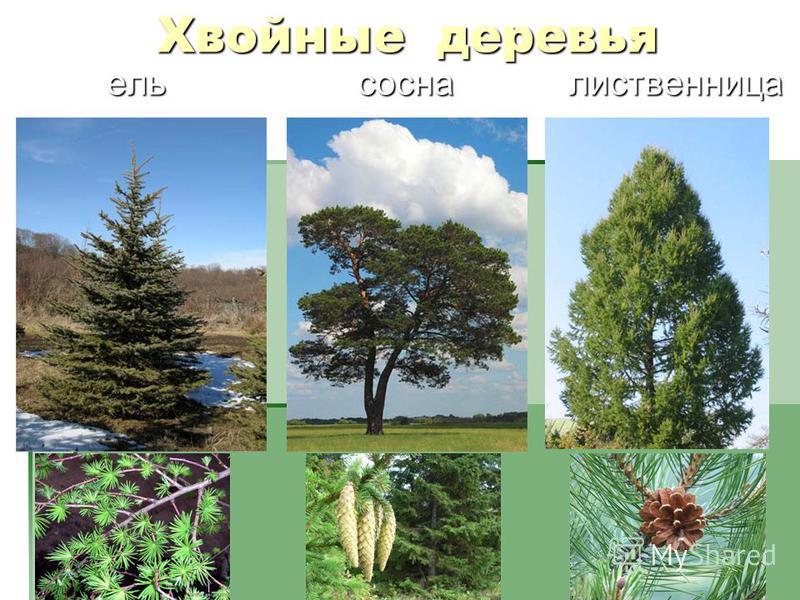 Хвойные деревья ель сосна лиственница ель сосна лиственница