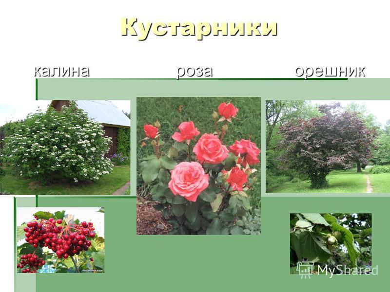 Кустарники калина роза орешник калина роза орешник