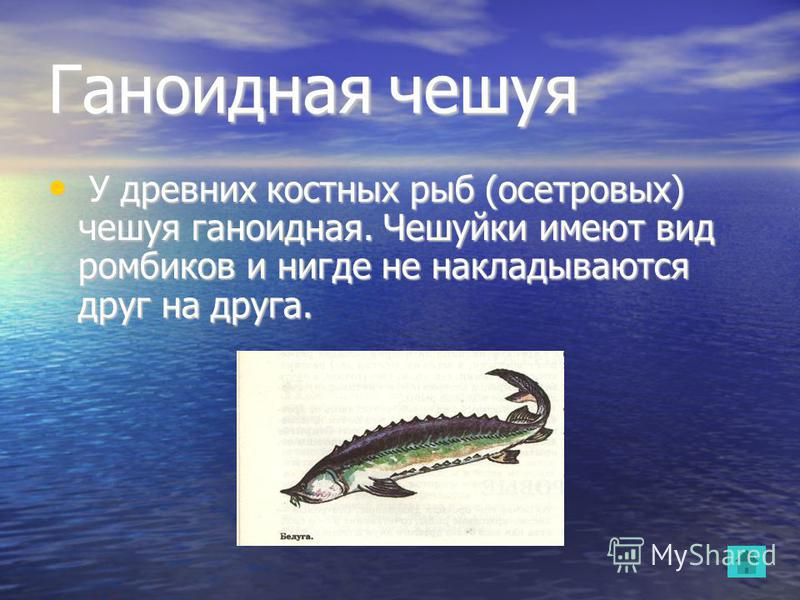 Ганоидная чешуя У древних костных рыб (осетровых) чешуя ганоидная. Чешуйки имеют вид ромбиков и нигде не накладываются друг на друга. У древних костных рыб (осетровых) чешуя ганоидная. Чешуйки имеют вид ромбиков и нигде не накладываются друг на друга