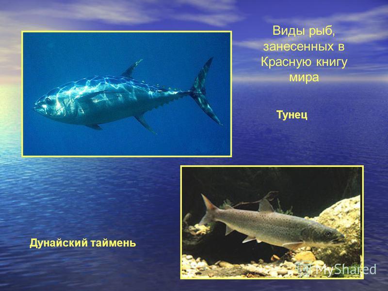 Виды рыб, занесенных в Красную книгу мира Тунец Дунайский таймень