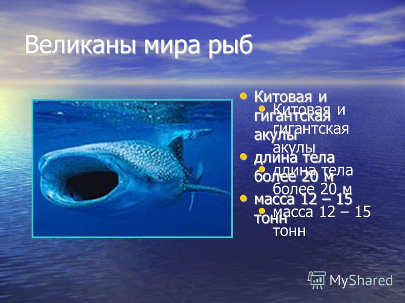 Великаны мира рыб Китовая и гигантская акулы Китовая и гигантская акулы длина тела более 20 м длина тела более 20 м масса 12 – 15 тонн масса 12 – 15 тонн Китовая и гигантская акулы длина тела более 20 м масса 12 – 15 тонн
