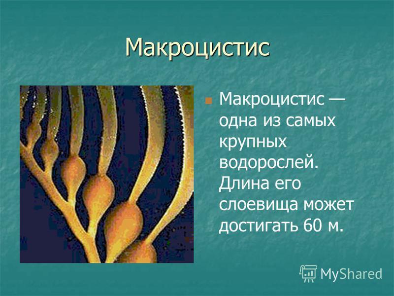 Макроцистис Макроцистис одна из самых крупных водорослей. Длина его слоевища может достигать 60 м.