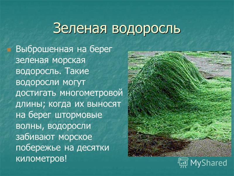 Зеленая водоросль Выброшенная на берег зеленая морская водоросль. Такие водоросли могут достигать многометровой длины; когда их выносят на берег штормовые волны, водоросли забивают морское побережье на десятки километров!