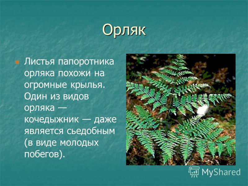 Орляк Листья папоротника орляка похожи на огромные крылья. Один из видов орляка кочедыжник даже является съедобным (в виде молодых побегов).