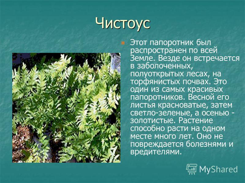 Чистоус Этот папоротник был распространен по всей Земле. Везде он встречается в заболоченных, полуоткрытых лесах, на торфянистых почвах. Это один из самых красивых папоротников. Весной его листья красноватые, затем светло-зеленые, а осенью - золотист