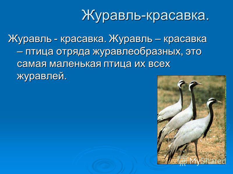 Журавль-красавка. Журавль - красавка. Журавль – красавка – птица отряда журавлеобразных, это самая маленькая птица их всех журавлей.