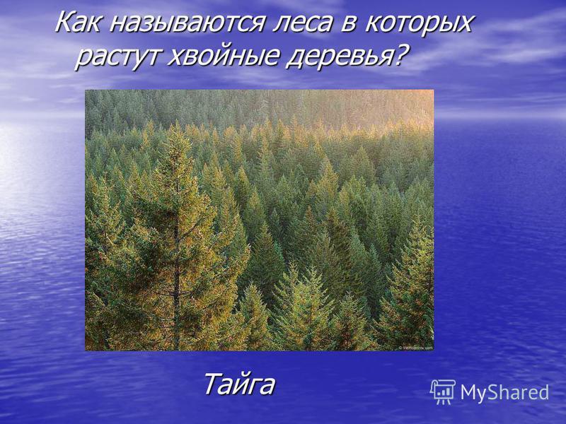 Как называются леса в которых растут хвойные деревья? Тайга