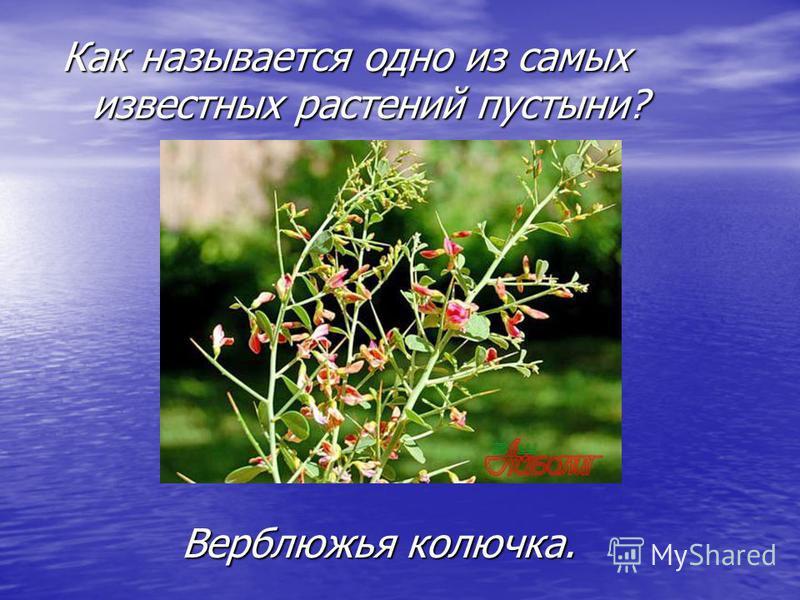 Как называется одно из самых известных растений пустыни? Верблюжья колючка.
