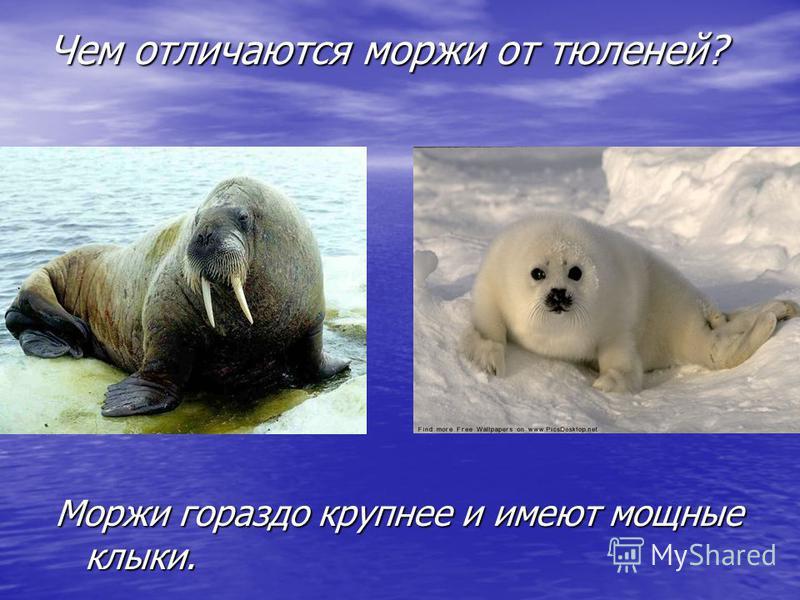 Чем отличаются моржи от тюленей? Моржи гораздо крупнее и имеют мощные клыки.