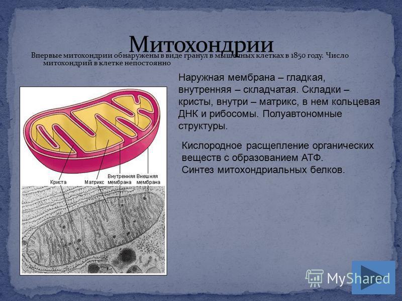 Впервые митохондрии обнаружены в виде гранул в мышечных клетках в 1850 году. Число митохондрий в клетке непостоянно Наружная мембрана – гладкая, внутренняя – складчатая. Складки – кристы, внутри – матрикс, в нем кольцевая ДНК и рибосомы. Полуавтономн