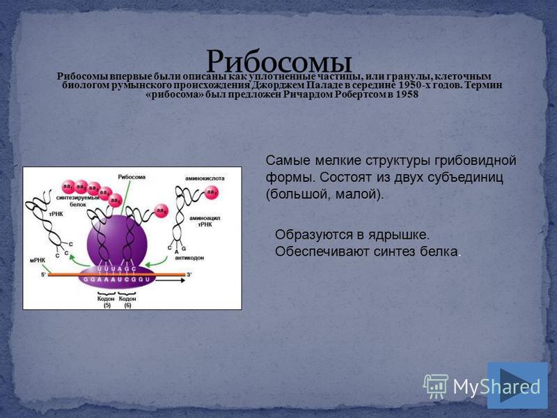 Рибосомы впервые были описаны как уплотненные частицы, или гранулы, клеточным биологом румынского происхождения Джорджем Паладе в середине 1950-х годов. Термин «рибосома» был предложен Ричардом Робертсом в 1958 Самые мелкие структуры грибовидной форм