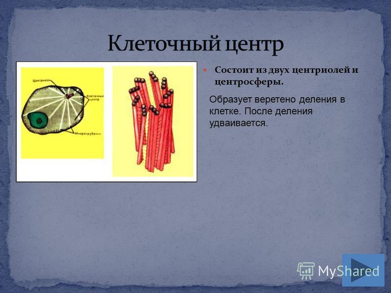 Состоит из двух центриолей и центросферы. Образует веретено деления в клетке. После деления удваивается.