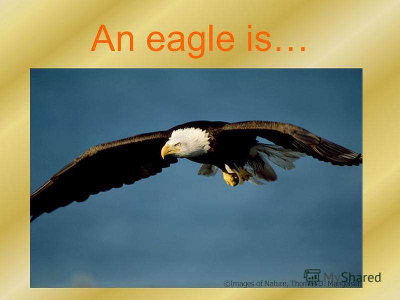 An eagle is…