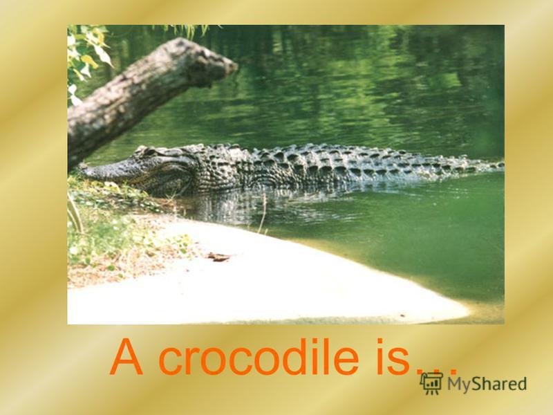 A crocodile is…
