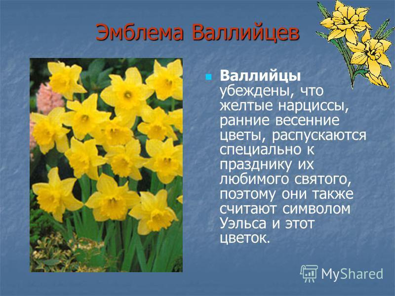 Эмблема Валлийцев Валлийцы убеждены, что желтые нарциссы, ранние весенние цветы, распускаются специально к празднику их любимого святого, поэтому они также считают символом Уэльса и этот цветок.