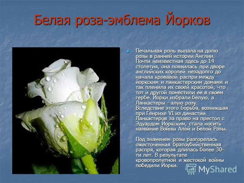 Белая роза-эмблема Йорков Печальная роль выпала на долю розы в ранней истории Англии. Почти неизвестная здесь до 14 столетия, она появилась при дворе английских королей незадолго до начала кровавой распри между йоркским и ланкастерским домами и так п