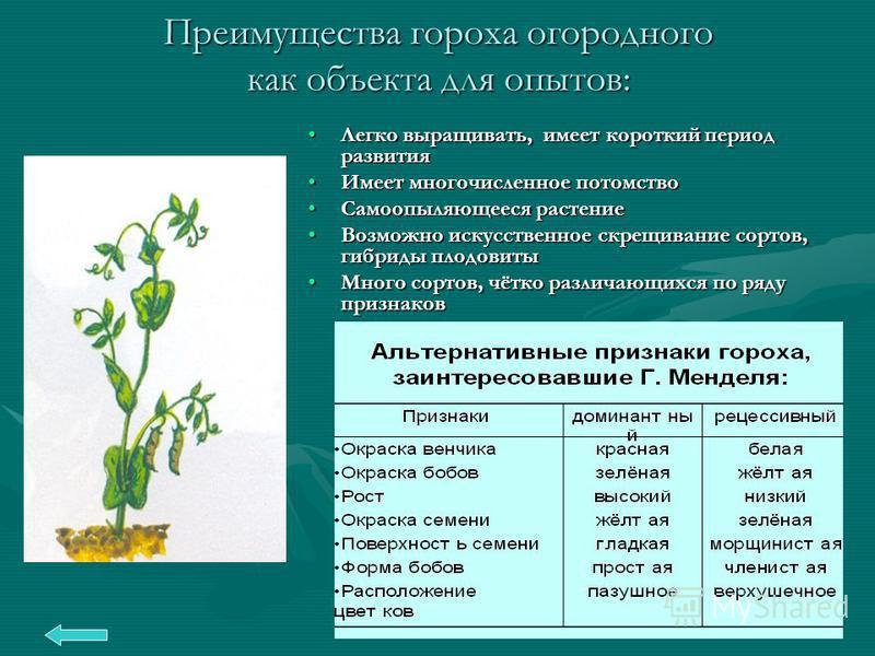 Преимущества гороха огородного как объекта для опытов: Легко выращивать, имеет короткий период развития Имеет многочисленное потомство Самоопыляющееся растение Возможно искусственное скрещивание сортов, гибриды плодовиты Много сортов, чётко различающ