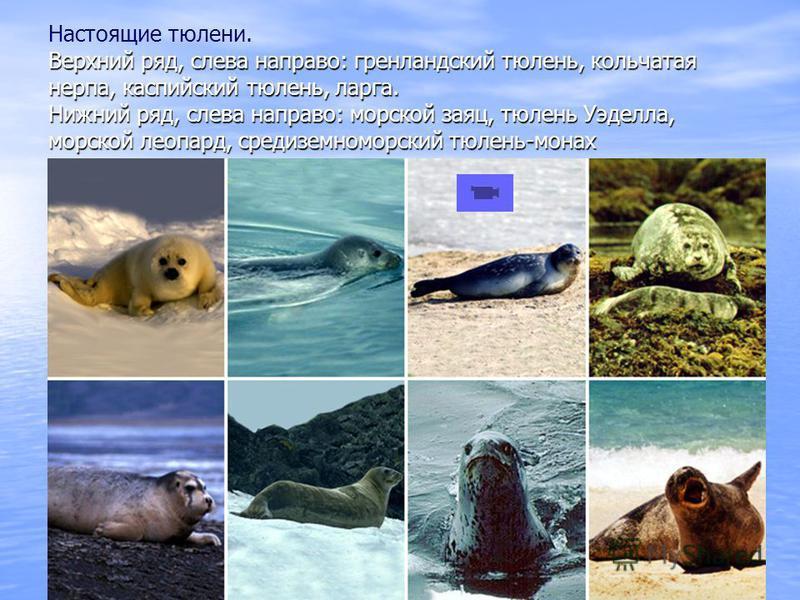 Верхний ряд, слева направо: гренландский тюлень, кольчатая нерпа, каспийский тюлень, ларга. Нижний ряд, слева направо: морской заяц, тюлень Уэделла, морской леопард, средиземноморский тюлень-монах Настоящие тюлени. Верхний ряд, слева направо: гренлан