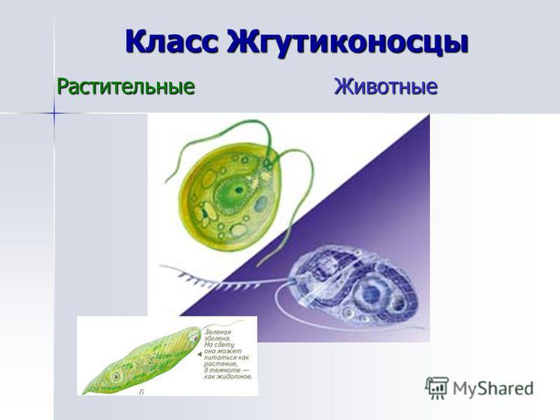 Класс Жгутиконосцы Растительные Животные