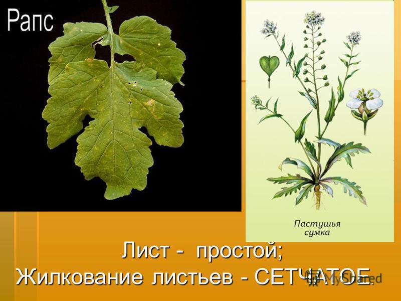 Лист - простой; Жилкование листьев - СЕТЧАТОЕ.