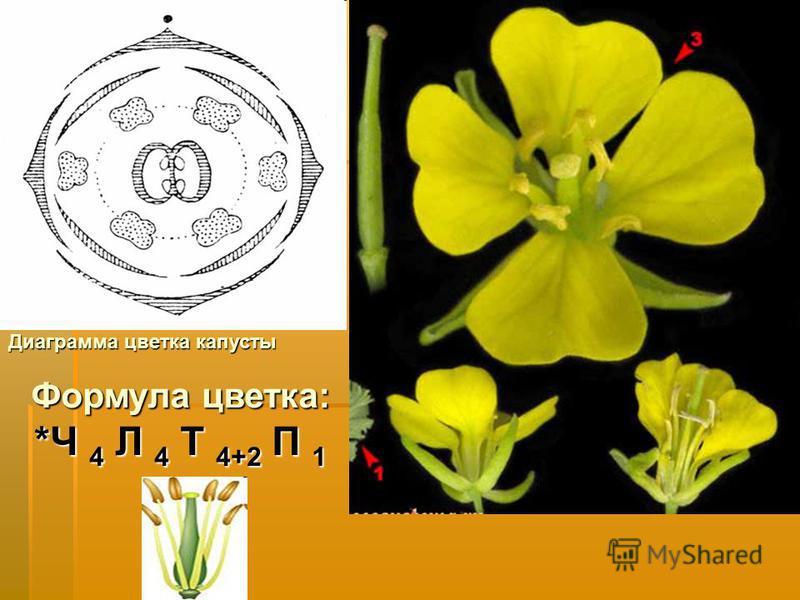 Формула цветка: *Ч 4 Л 4 Т 4+2 П 1 Диаграмма цветка капусты