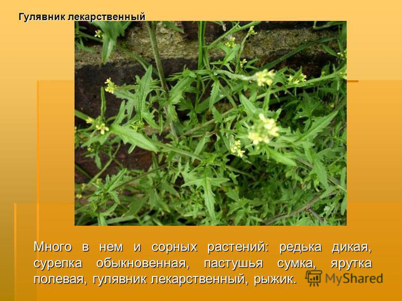 Много в нем и сорных растений: редька дикая, сурепка обыкновенная, пастушья сумка, ярутка полевая, гулявник лекарственный, рыжик. Гулявник лекарственный