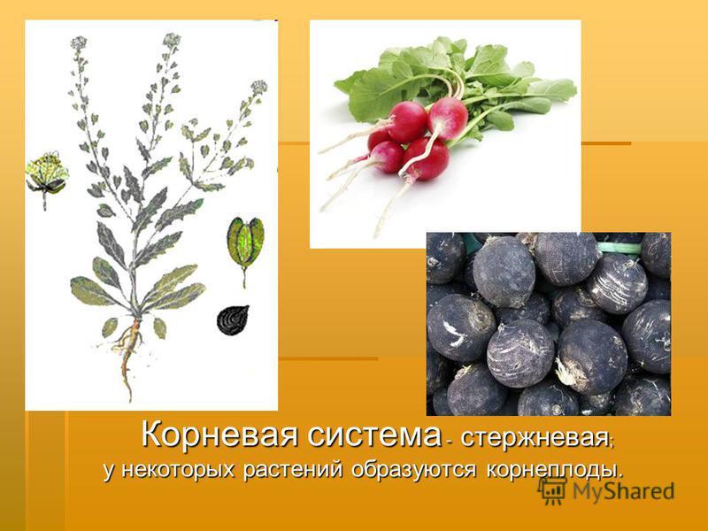 Корневая система - стержневая ; у некоторых растений образуются корнеплоды.