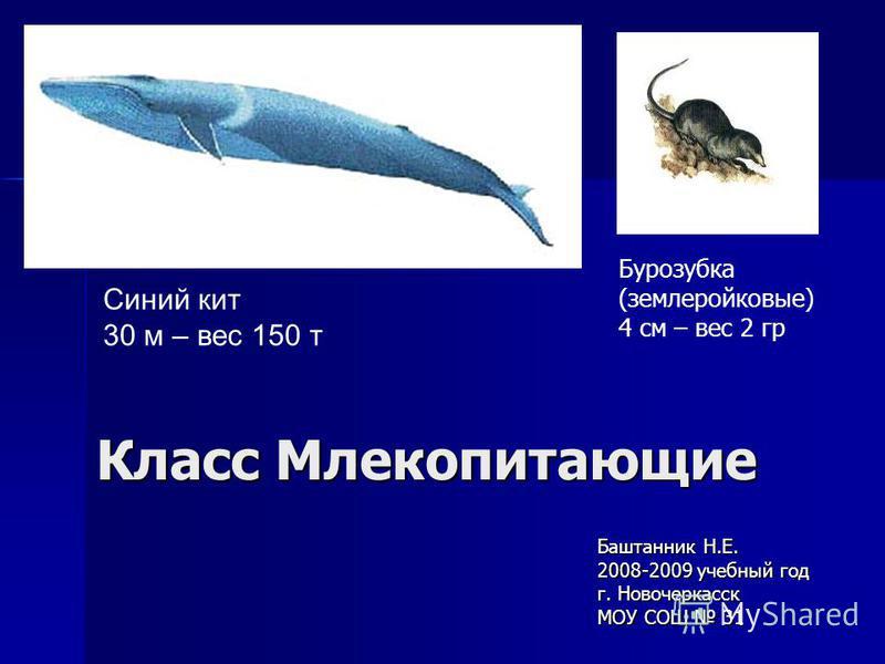 Класс Млекопитающие Баштанник Н.Е. 2008-2009 учебный год г. Новочеркасск МОУ СОШ 31 Синий кит 30 м – вес 150 т Бурозубка (землеройковые) 4 см – вес 2 гр