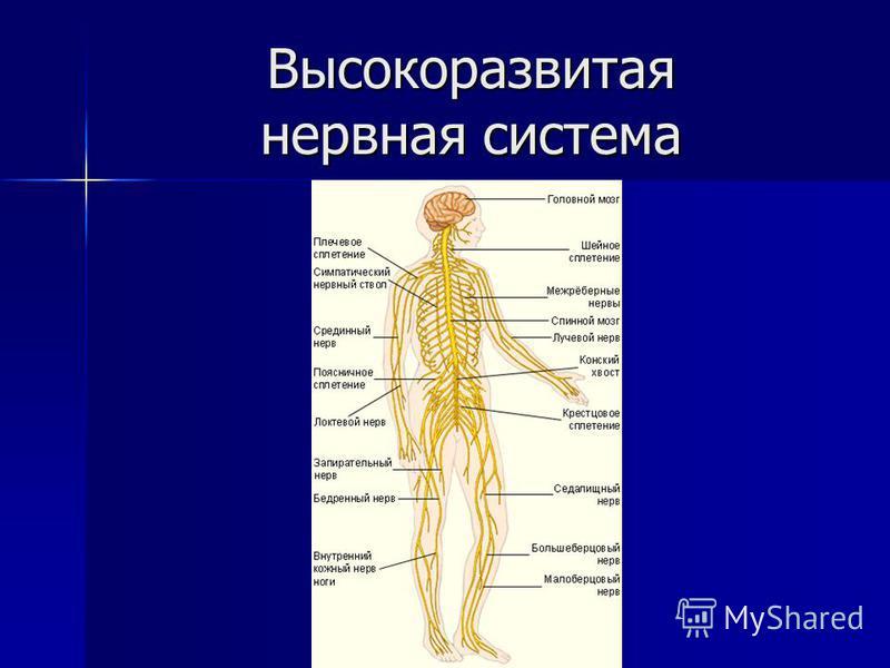 Высокоразвитая нервная система